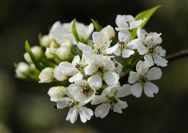 Pear Tree Blossom 3 Spring 2013