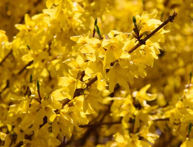 Forsythia Blossom Spring 2013